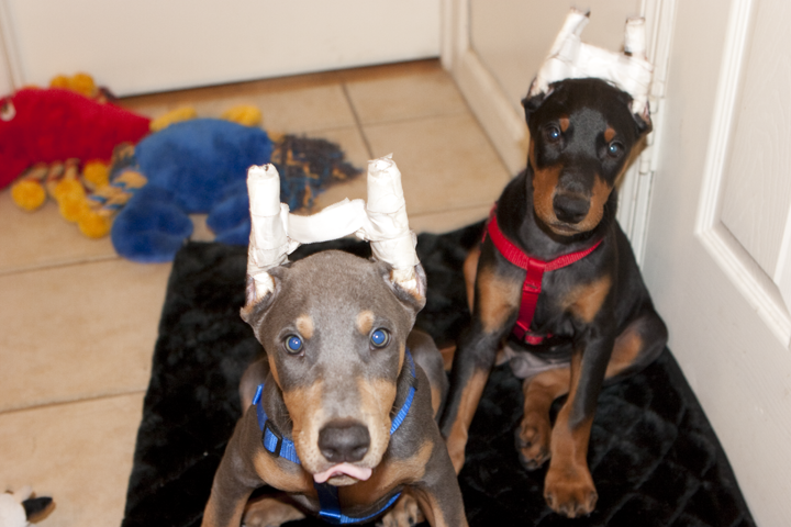 cute doberman pups